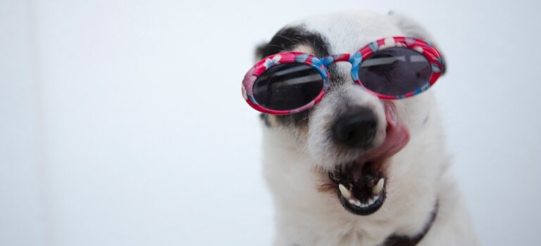 hund med solbriller